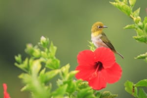 Photo of a Japanese White-Eye, One of the Prettiest Birds of Oahu