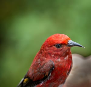 Photo of an ʻApapane, One of the Many Birds of Oahu