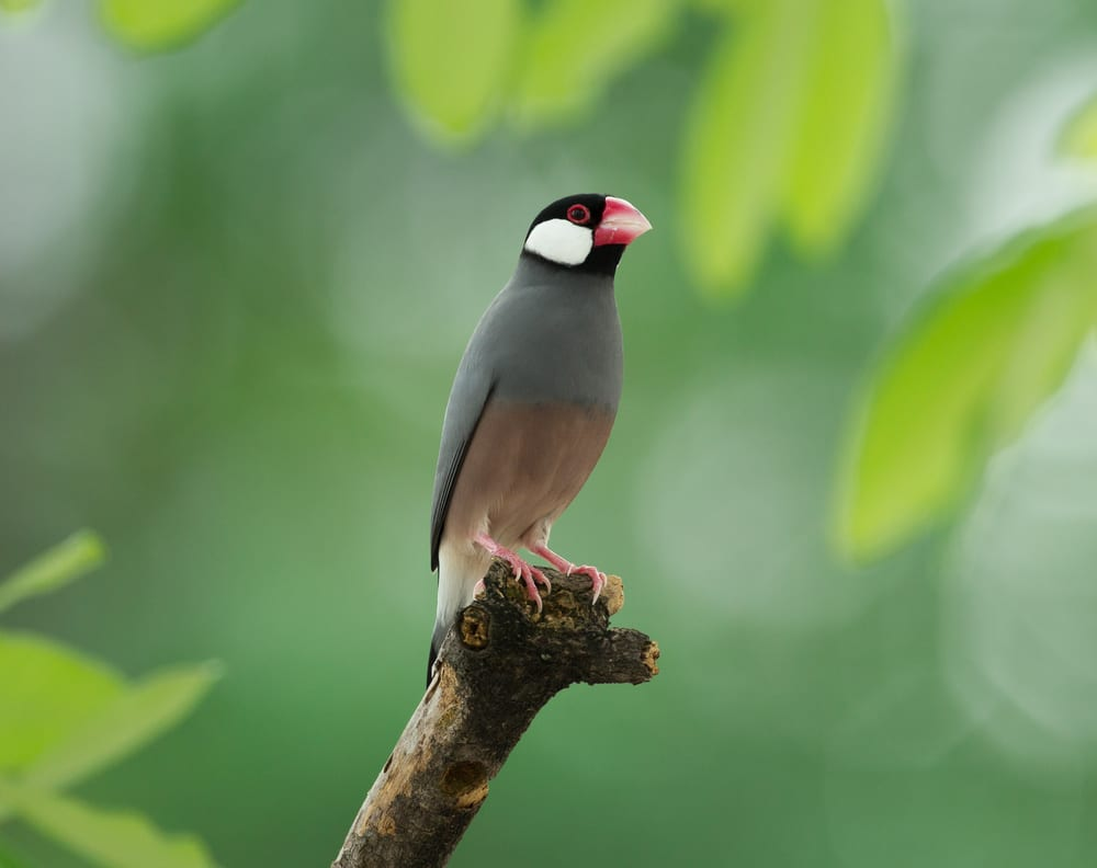 Photo of a Java Sparrow, One of the Many Birds of Oahu