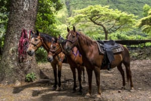 Photo of the Three Horses. Horseback Riding in Oahu Is an Experience Unlike Anything Else.