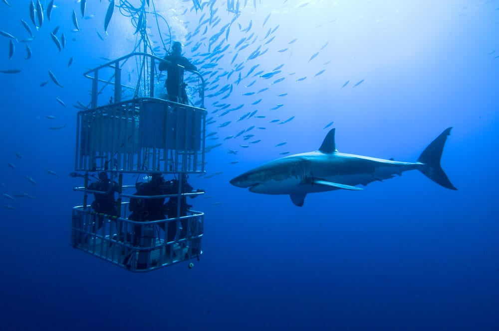Photo of Group Shark Diving on Oahu's North Shore.